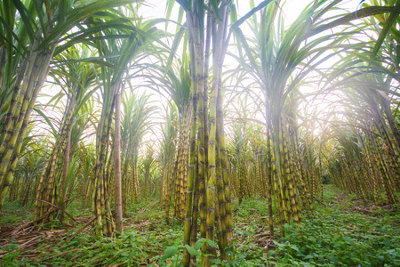 industrial drop: fresh sugarcane in garden, farm