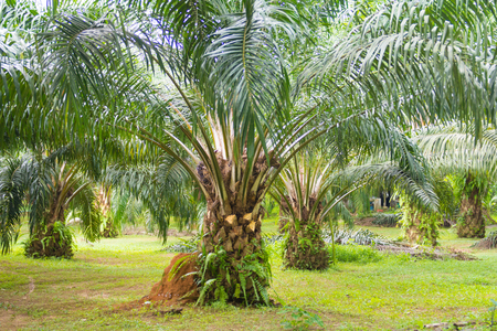 oil palm: oil palm tree in garden, economic crop Stock Photo