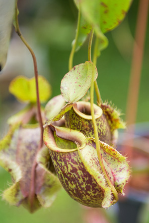 nepenthes: tropical nepenthes plant, nature