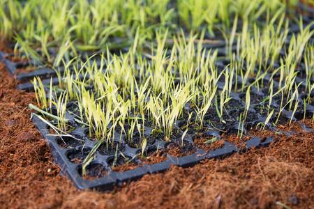 vigorous: green seedlings on small tray, nature