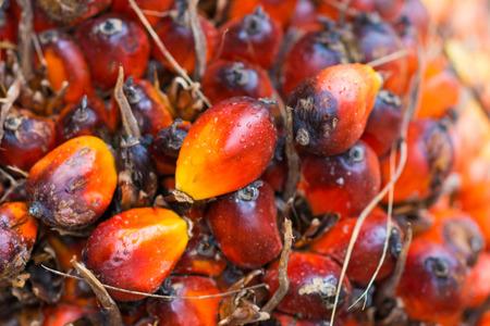 palm garden: fresh palm oil from palm garden, farmland Stock Photo