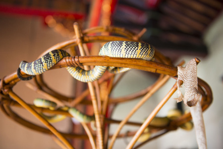 veneration: PENANG, MALAYSIA-AUGUST 10, 2015 Snake on branch in Snake Temple in Penang, Malaysia, travel
