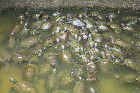 a lot: PENANG, MALAYSIA-AUGUST 10, 2015 :: a lot of turtles in Kek lok si temple at Penang, Malaysia, travel