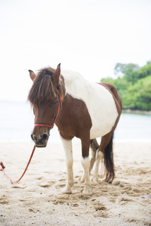 dwarf: Mini dwarf horse on sand beach, animal Stock Photo