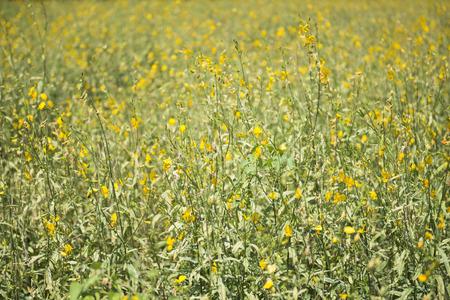 flora: The farm of crotalaria flower, flora