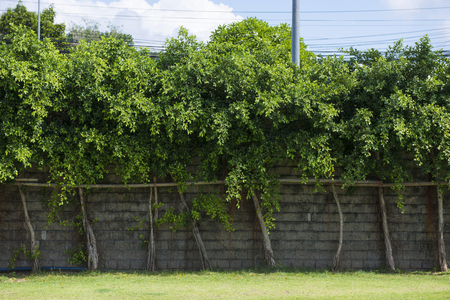 arranged: trees arranged in a row along a block wall, nature