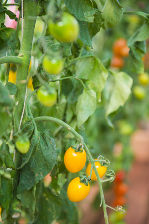 upgrowth: fresh cherry tomatoes on branch, vegetable