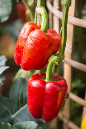 upgrowth: fresh bell pepper on branch, vegetable
