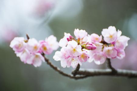 beautiful cherry blossom or sakura flower, flora