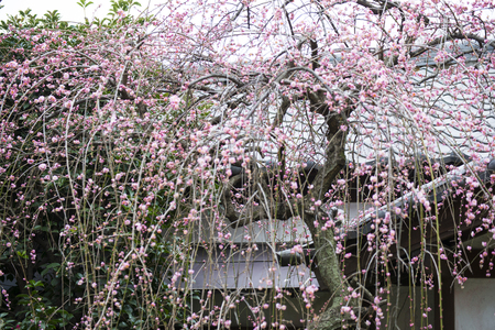 flora: beautiful cherry blossom or sakura flower, flora
