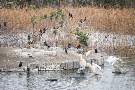 jackdaw: Great white pelican and jackdaw in lake, bird Stock Photo