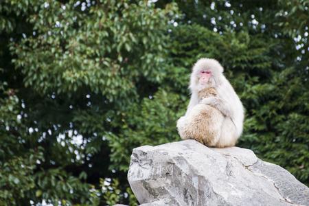 macaca fuscata or Japanese macaque at zoo, animal