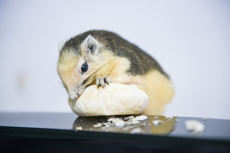 gnaw: young squirrel eating sweets, animal Stock Photo