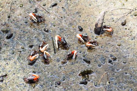 fiddler: fiddler crabs walking in mangrove forest, animal
