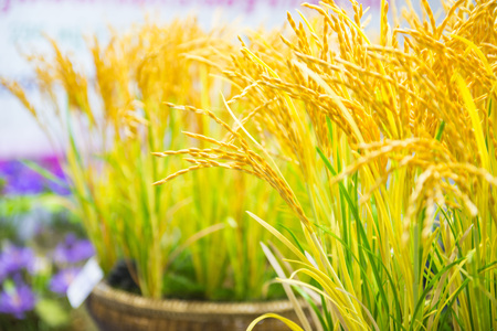 rice plant simulation for decorate home , handcraft