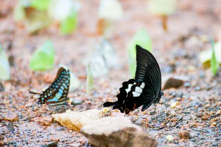 Group of butterflies on the ground, Kaeng Krachan National Park, Thailand