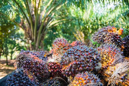 Huile de palme fraîche de palmeraie, plante