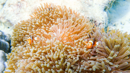 Clownfish fishes with sea anemone under the sea, marine life