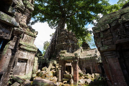tetrameles growing on the ruins of Ta Prohm temple,Angkor Thom