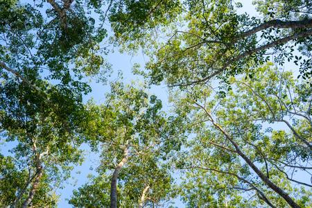 treetops of high tree in garden,park