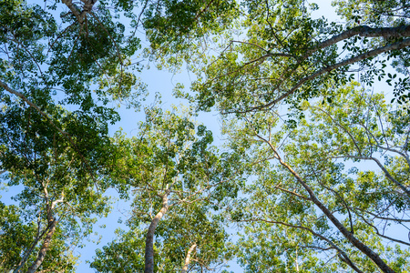 treetops of high tree in garden,park Standard-Bild