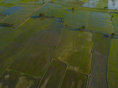green rice field in the evening,field 스톡 콘텐츠