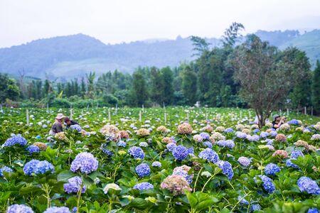 Hydrangea flower garden at Chiang Mai,Thailand