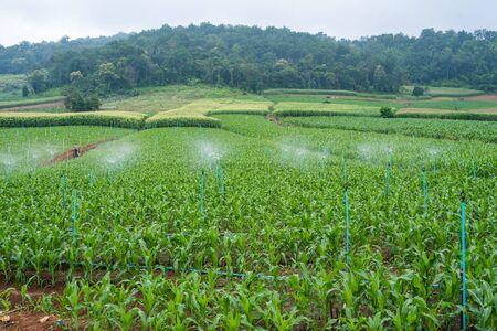 watering corn at corn farm,garden
