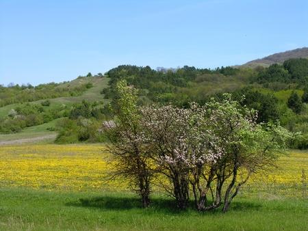 Spring. Apple garden in blossom photo