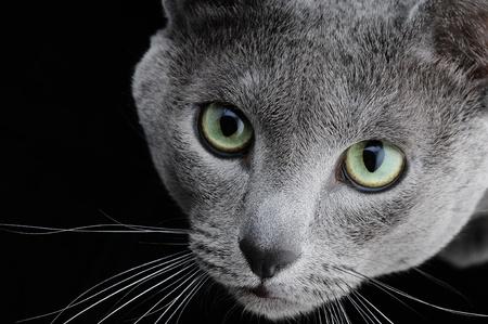 Portrait of a beautiful cat on a black background Banque d'images