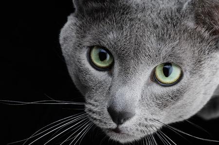 Portrait of a beautiful cat on a black background photo