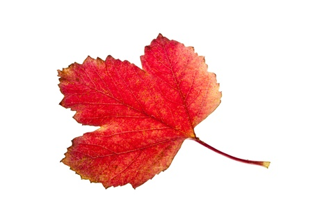 Colorful fall viburnum leaves isolated on white