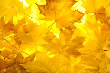 illumination: Arce con color las hojas