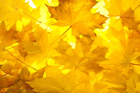 Colorful fall maple leaves photo