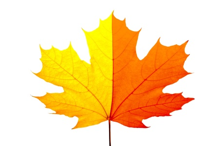 Colorful fall maple leaves isolated on white Stock Photo - 11108572