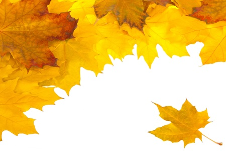 Colorful fall maple leaves isolated on white Stock Photo