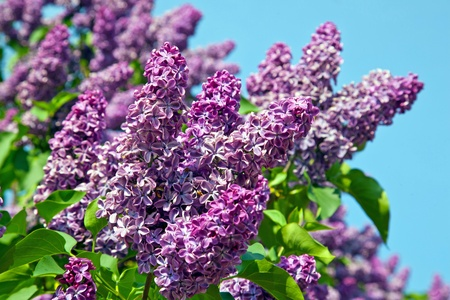Spring. Lilac blossom on trees Banque d'images