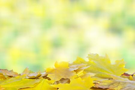 Colorful fall maple leaves photo