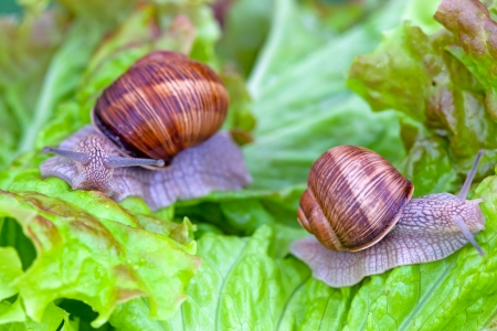 Snails after a rain on wet leaves close up photo