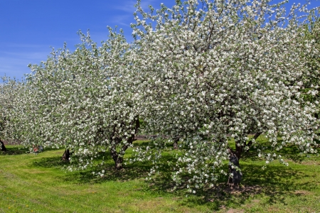 Blossom apple trees garden in the spring photo