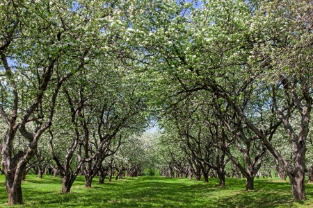 glowering: Blossom apple trees garden in the spring