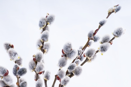 Beautiful pussy willow flowers branches photo