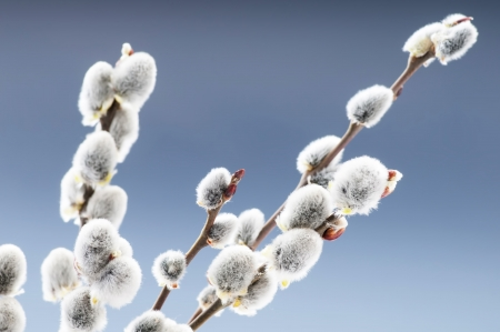 pussy yellow: Beautiful pussy willow flowers branches Stock Photo