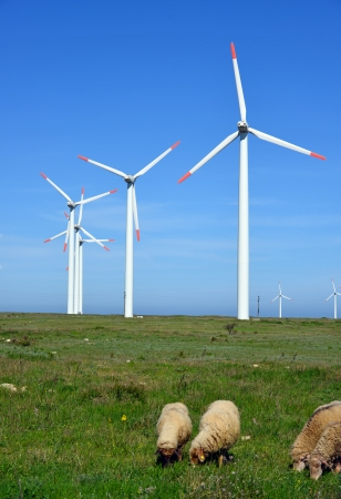Sheep and rams in the field against wind turbines photo