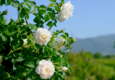 The famous rose fields in the Thracian Valley near Kazanlak Bulgaria