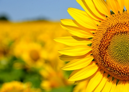 A beautiful sunflower field Stock Photo