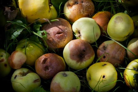 Heap of rotting and decomposing apples in the garden