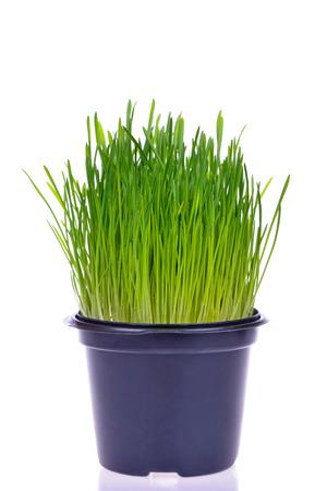 Pot of fresh green grass for cats