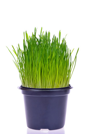 Pot of fresh green grass for cats