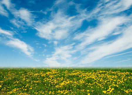 Löwenzahn-Feld und blauer Himmel Standard-Bild - 25632086